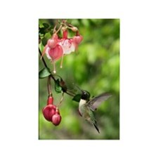 Black-chinned Hummingbird Rectangle Magnet