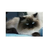Blue-Eyed Himalayan Cat Magnet (10-pack)