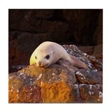Sea of Cortez Sea Lion Tile Coaster