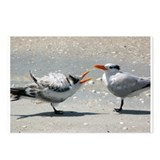 Sanibel Begging Baby Tern Postcards (Package of 8)