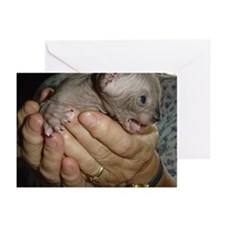 Cute Sphynx cats Greeting Cards (Pk of 10)
