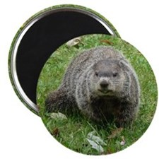Groundhog Eating Magnet
