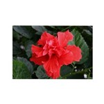 Red Hibiscus Rectangle Magnet (10 pack)