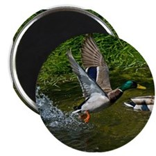 "Mallard Take-off 2.25"" Magnet (10 pack)"