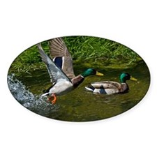 Mallard Take-off Oval Sticker (10 pk)