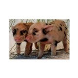 Micro pig Rectangle Magnet (100 pack)
