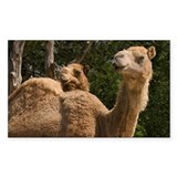 2 Camels Rectangle Sticker 10 pk)