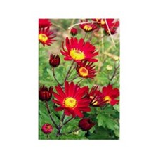 Red Daisy Mums Rectangle Magnet