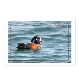 Harlequin Duck Postcards (Package of 8)