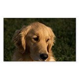 Golden Retriever Head Bumper Stickers