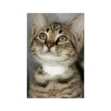 Tabby Kitten Rectangle Magnet (10 pack)