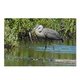 Great Blue Heron fishing Postcards (Package of 8)