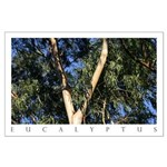 San Francisco Botanical Eucalyptus Large Posters