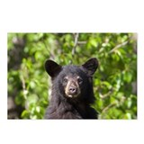Bear Cub Postcards (Package of 8)