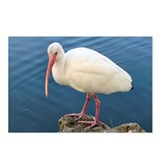 Ibis Postcards (Package of 8)