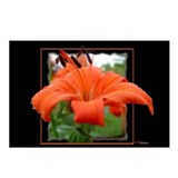 Tiger Lily Postcards (Package of 8)