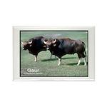 Gaur Bulls Photo Rectangle Magnet (10 pack)