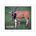 Eland Antelope Photo Small Poster