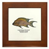 Lamprologus brichardi Framed Tile