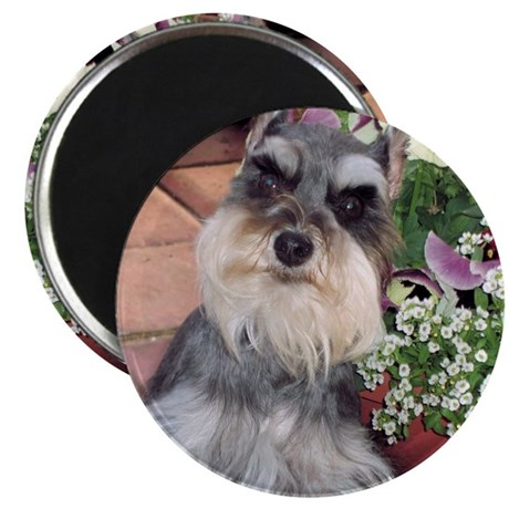 "Schnauzer and the Pansies 2.25"" Magnet (10 pack)"