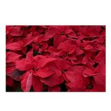 Deep Red Poinsettias Postcards (Package of 8)