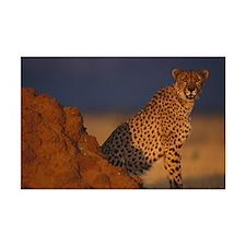 Male African Cheetah Mini Poster Print