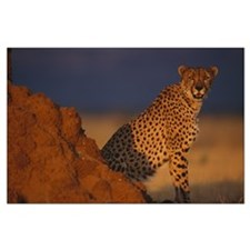 Male African Cheetah Large Poster