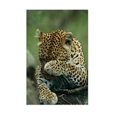 Leopard Grooming Mini Poster Print