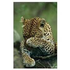 Leopard Grooming Large Poster