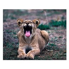 Lioness Yawning Small Poster