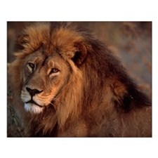 African Lion Small Poster