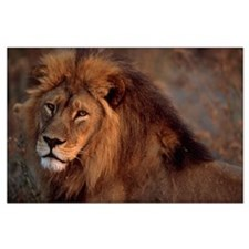 African Lion Large Poster