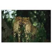 Nuzzling Cheetah Cubs Large Poster