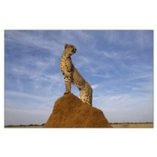 Cheetah King of the Jungle Large Poster
