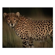 Cheetah in the Grass Small Poster