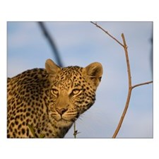 Leopard Small Poster