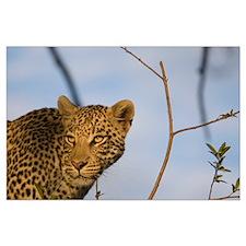 Leopard Large Poster