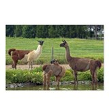 Llama Trio Postcards (Package of 8)