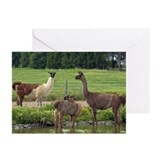 Llama Trio Greeting Cards (Pk of 20)