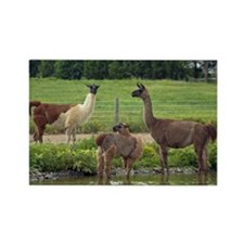 Llama Trio Rectangle Magnet