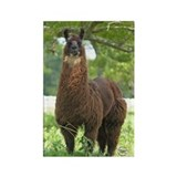Black Llama Rectangle Magnet (10 pack)