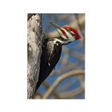 Male Pileated Woodpecker Rectangle Magnet