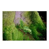 "Fern Growing on Sitka Spruce"" Postcards (Package o"