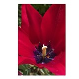 Red Tulip Postcards (Package of 8)