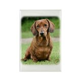Dachshund 9Y151D-281_2 Rectangle Magnet (10 pack)