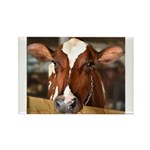 Cow 1 Rectangle Magnet (100 pack)
