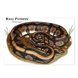 Ball Python Postcards (Package of 8)