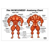 MUSCLEHEDZ Anatomy Chart