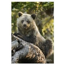 """Grizzly Bear Cub"" Economy Print"