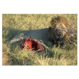 of Lion and his Warthog victim